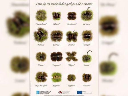 16_variedades_galegas_castana-724x1024-1-810x608