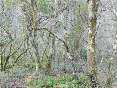 Bosque de ribeira no val fluvial do Lourido, Corcoesto