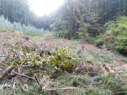 tala e prantación de eucaliptal no bosque Ribeira da Pena en Carballo