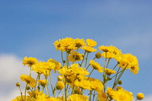 Yellow chrysanthemum field in the white clouds and blue sky back